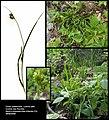 Carex pallescens (1).jpg