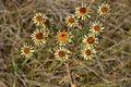 Carlina vulgaris (7984960199).jpg