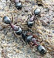 Carpenter Ant Camponotus novaeboracensis workers.jpg