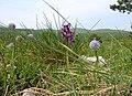 Carso in fiore - panoramio.jpg