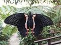 Casa delle Farfalle - Papilio rumanzovia 01.jpg