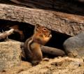 Cascade golden-mantled ground squirrel Washington State.png