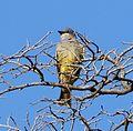 Cassin's Kingbird. Tyrannus vociferans - Flickr - gailhampshire.jpg