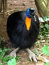 Casuarius unappendiculatus -Northern Cassowary -head to toe.jpg