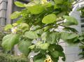 Catalpa bignonioides Aurea2.jpg