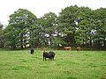 Cattle, Gartmorn - geograph.org.uk - 244192.jpg