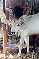 Cattle (Bos taurus) in morang district-2537.jpg