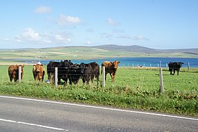Cattle at Cairston (geograph 3642586).jpg
