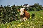 Cattle in Łapszanka, Poland.jpg