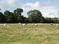 Cattle on pasture near Pouldrew - geograph.org.uk - 1477087.jpg