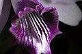 Cattleya bicalhoi fma. coerulea 'Chojamaru' Van den Berg, Neodiversity 3- 4 (2008) (26737183809).jpg