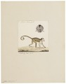 Cebus capucinus - 1829-1867 - Print - Iconographia Zoologica - Special Collections University of Amsterdam - UBA01 IZ20200174.tif