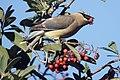Cedar waxwing (46424161964).jpg