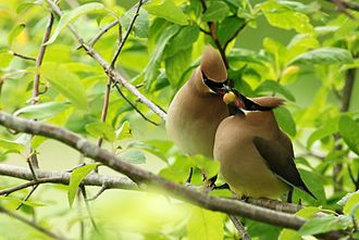Waxwing - Cedar waxwing pair passing a berry back and forth during courtship