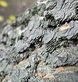 Celtis occidentalis (11).JPG