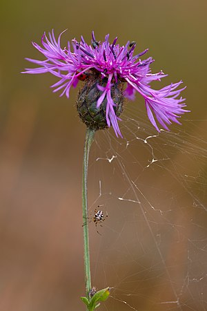 Centaurea scabiosa - Image: Centaurea scabiosa Micha D 2