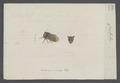 Centrotus - Print - Iconographia Zoologica - Special Collections University of Amsterdam - UBAINV0274 042 04 0023.tif