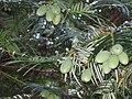 Cephalotaxus fortunei Chinese Plum Yew ფორჩუნის ცეფალოტაქსუსი (2).JPG