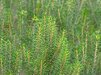Ceratiola ericoides foliage closeup