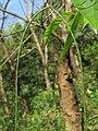 Ceropegia elegans fruits at Peravoor (6).jpg
