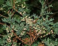 Chamaecyparis thyoides (Atlantic White Cedar) (31257220486).jpg