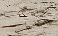Charadrius melodus -Cape May, New Jersey, USA -chick-8.jpg