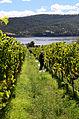 Chardonnay harvest, vintage 2012 in Tasmania.jpg