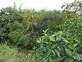 Cheiro de mato verde com frutas - panoramio.jpg