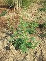 Chenopodium hybridum sl5.jpg