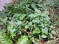 Chenopodium vulvaria sl142.jpg