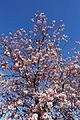 Cherry blossom @ Beaugrenelle @ Paris (26208547235).jpg