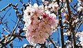 Cherry blossoms Lake Balboa (20140330-0324).JPG