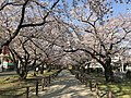 Cherry blossoms near Zasshonokuma Station 20190401-1.jpg