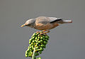 Chestnut-tailed Starling I IMG 0638.jpg