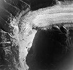 Chickamin Glacier, terminus of valley glacier with trimline along valley walls, August 24, 1963 (GLACIERS 6999).jpg