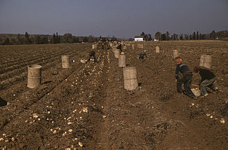 Aroostook County, Maine - Children gathering potatoes on a large farm in Aroostook County, 1940. Schools did not open until the potatoes were harvested.  Photo by Jack Delano.
