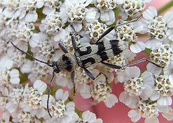 Chlorophorus varius white.JPG