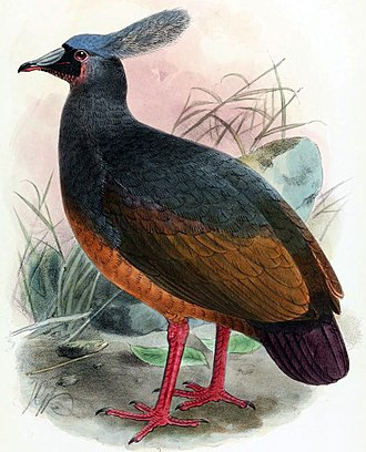 Choiseul pigeon - Illustration by J. G. Keulemans, 1904