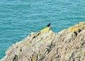 Chough on Predannack Cliffs - geograph.org.uk - 1002627.jpg
