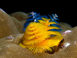 Coral Triangle - Image: Christmas tree worms