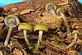 Chromosera cyanophylla (Fr.) Redhead, Ammirati & Norvell 805202.jpg