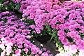 Chrysanthemum Bold Melissa 5zz.jpg