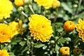 Chrysanthemum Gold Finch 1zz.jpg