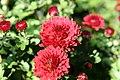 Chrysanthemum Raquel 0zz.jpg