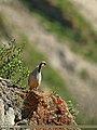 Chukar Partridge (Alectoris chukar) (20498140629).jpg