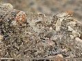Chukar Partridge (Alectoris chukar) (43890727511).jpg