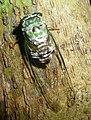 Cicada. Cicadidae - Flickr - gailhampshire.jpg