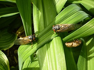 Two periodical cicadas on daylily leaves, from the United States.
