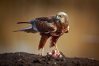 Harrier (bird)