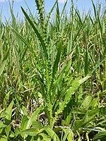 Cirsium brachycephalum sl6.jpg
